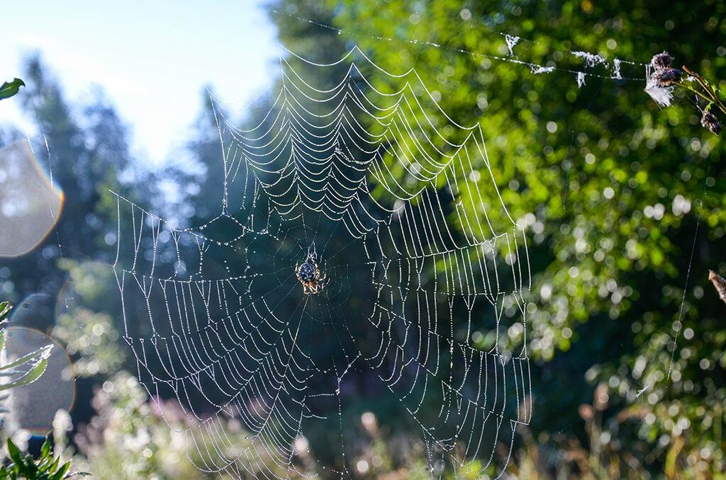 крестовый паук